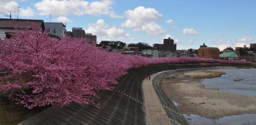 Sakura DSC 3964