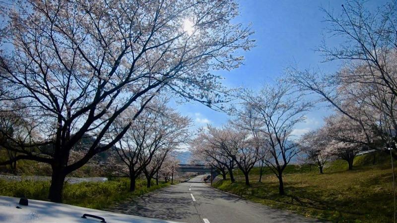 青川峡キャンピングパーク 桜並木